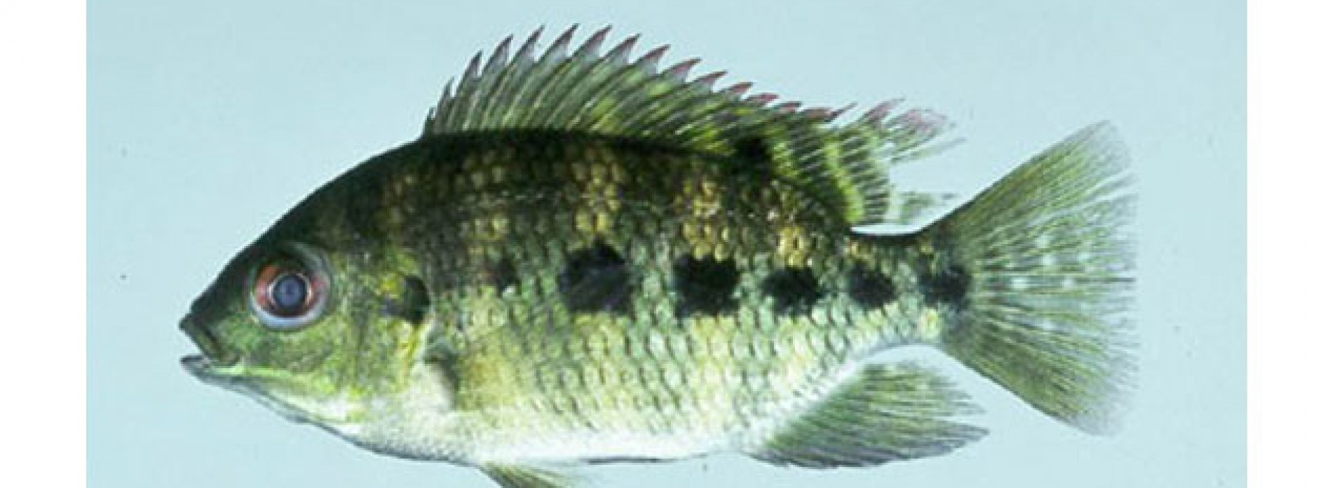 What's So Great About Tilapia