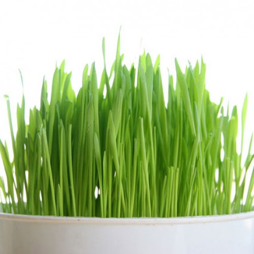 What's so bad about wheatgrass?