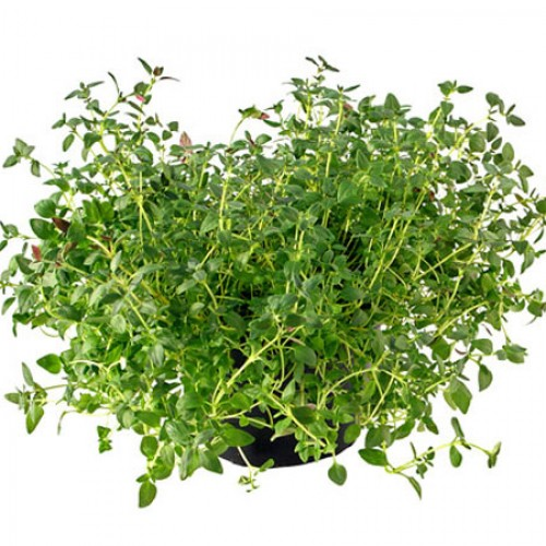 What's So Great About Thyme?